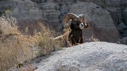 Правоохранители задержали главу экофонда Алтая за охоту на краснокнижных животных